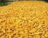România este pe locul doi la producţia de porumb în Europa, după Franţa